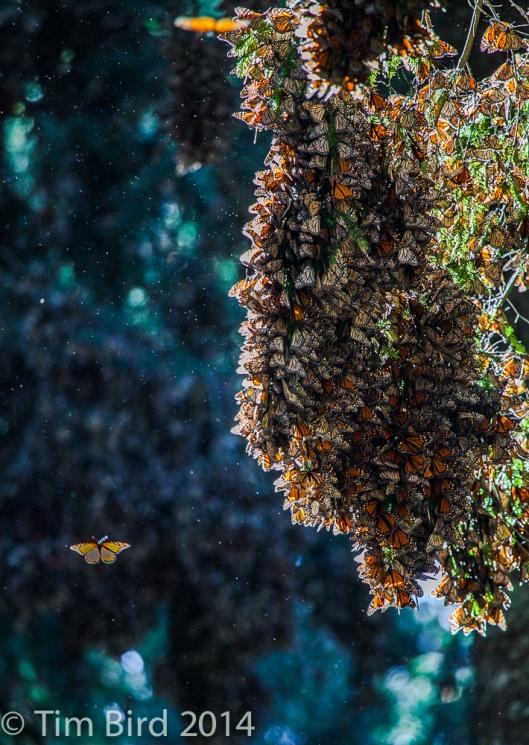 butterflies-4321