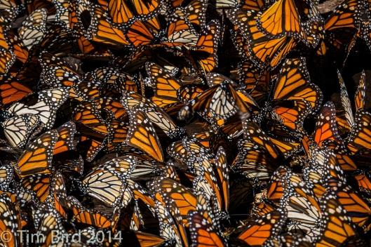 butterflies-4353