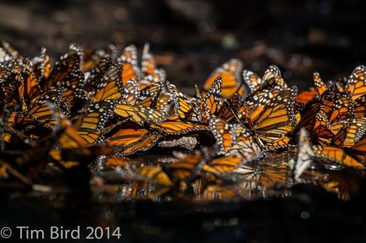 butterflies-4380