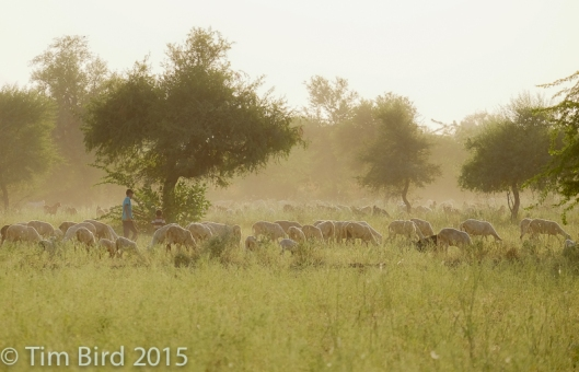 Goat herder - and goats - in the Rajasthan countryside near Jodhpur.
